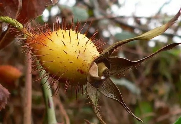 """这种植物生长在农村田间地头,味道十分可口,被称为""""深山瑰宝"""""""